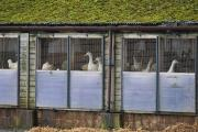 Ducks on a farm in Nafferton, East Yorkshire, where measures to prevent the spread of bird flu are under way after the first serious case in the UK for six years. Picture: Steve Parkin/PA Wire