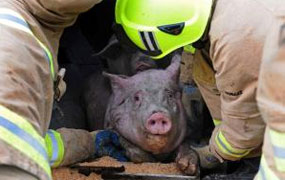 York Press: Lorry carrying 200 pigs overturns after crashing with bread lorry in York