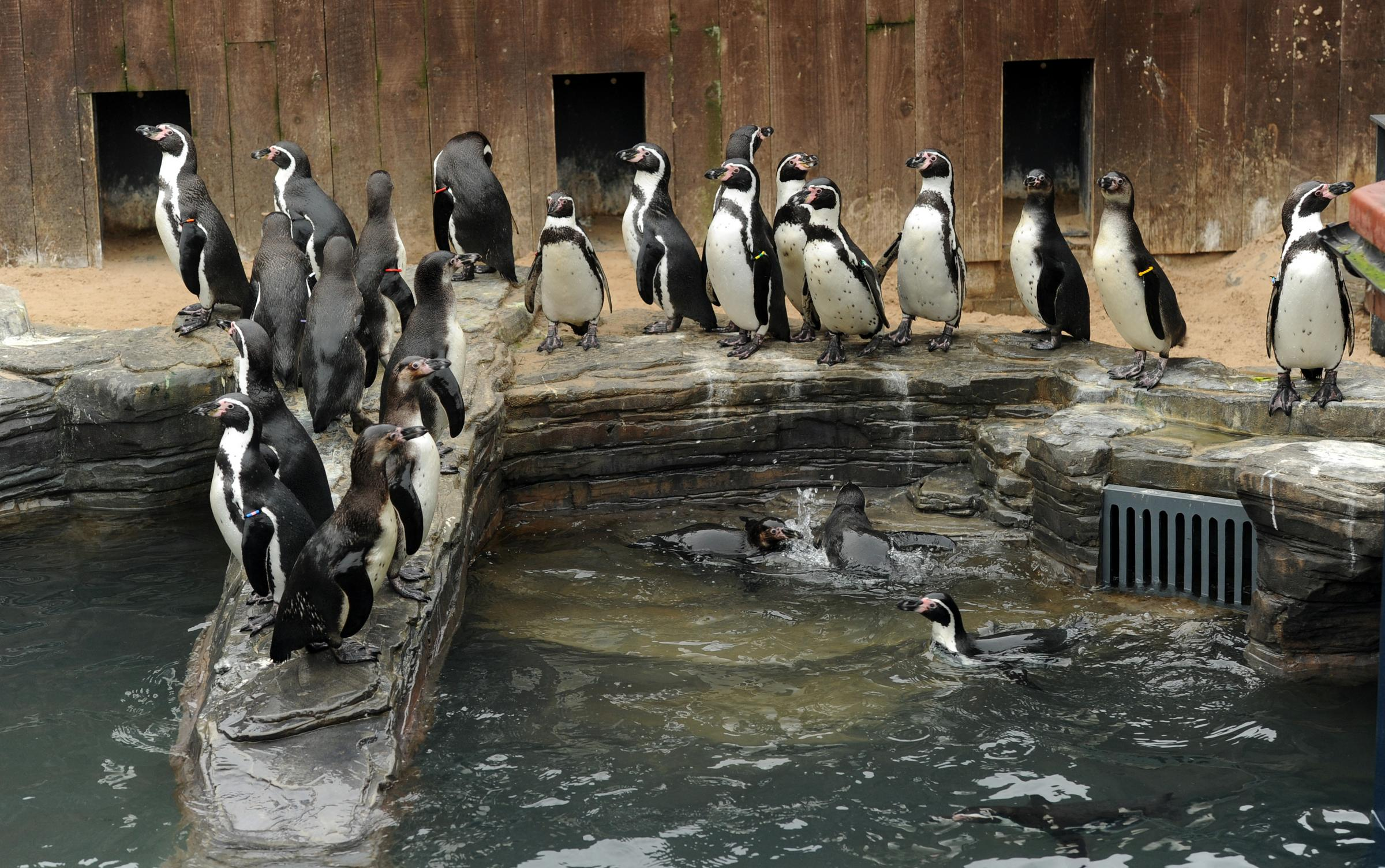The penguins are reunited in their new surroundings in Great Yarmouth