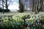 The carpet of snowdrops at Burton Agnes Hall, which which can be seen from January 31 to March 8