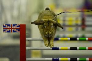 VIDEO: Hop along to see show jumping rabbits