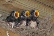 YOUNG TALENT: Baby swallows by Liam Constantine, aged ten