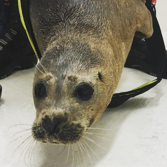 Injured seal rescued by public   York Press
