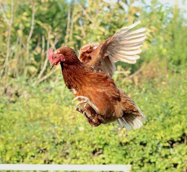 a charity is looking for new homes for 500 ex caged hens york press