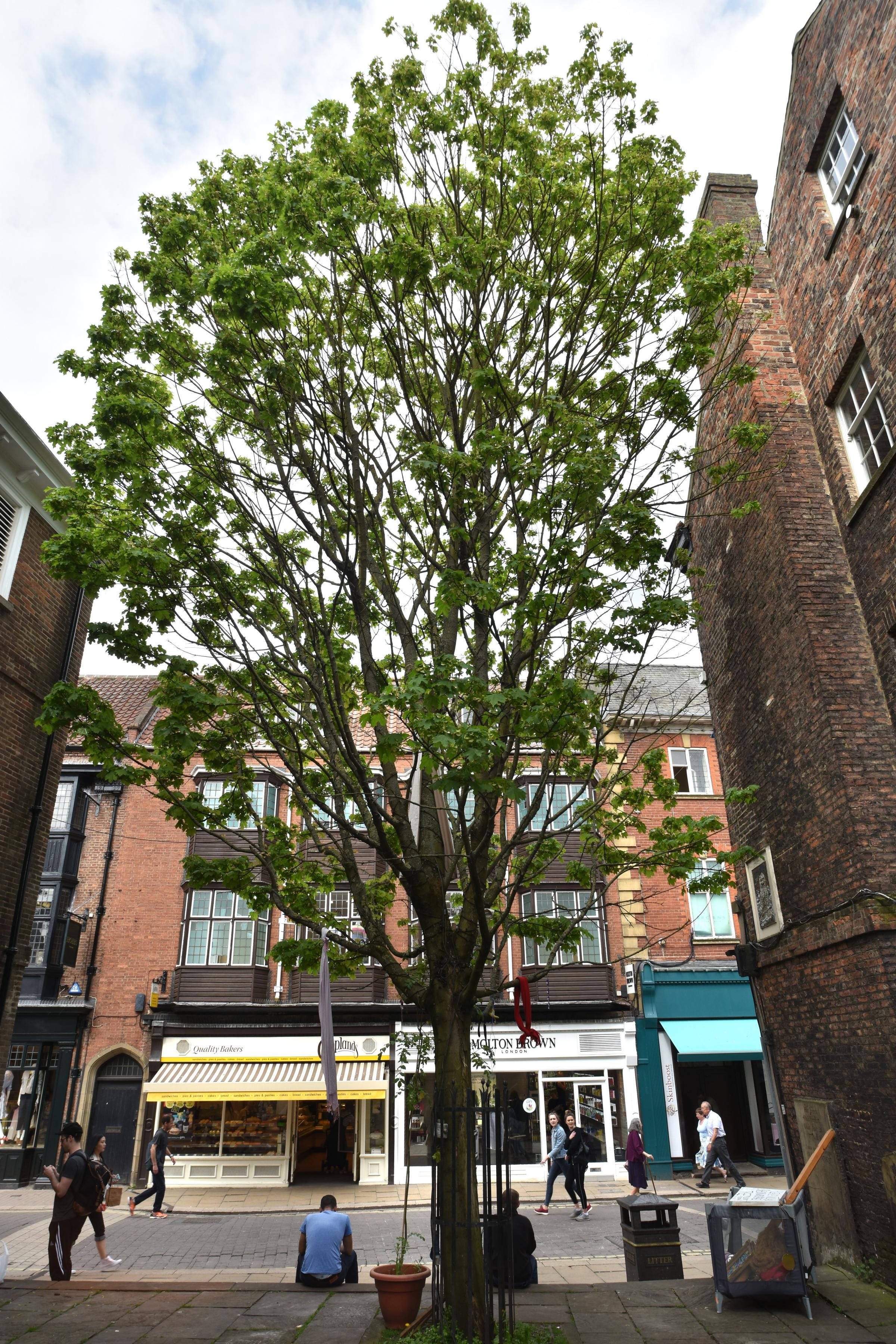 PROTESTS: Campaigners are against a proposal to fell the Norway Maple Tree                                                                                Picture: Frank Dwyer