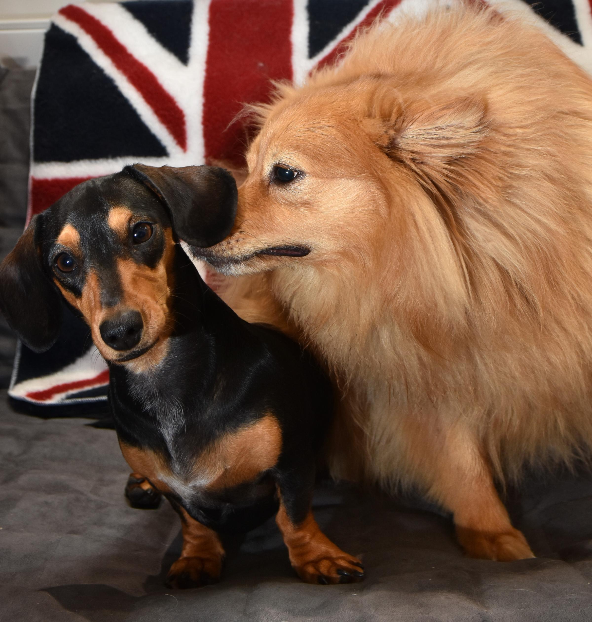 Miniature Dashund Annie and German Spitz Herbert Asquith prepare for the royal wedding Picture Frank Dwyer