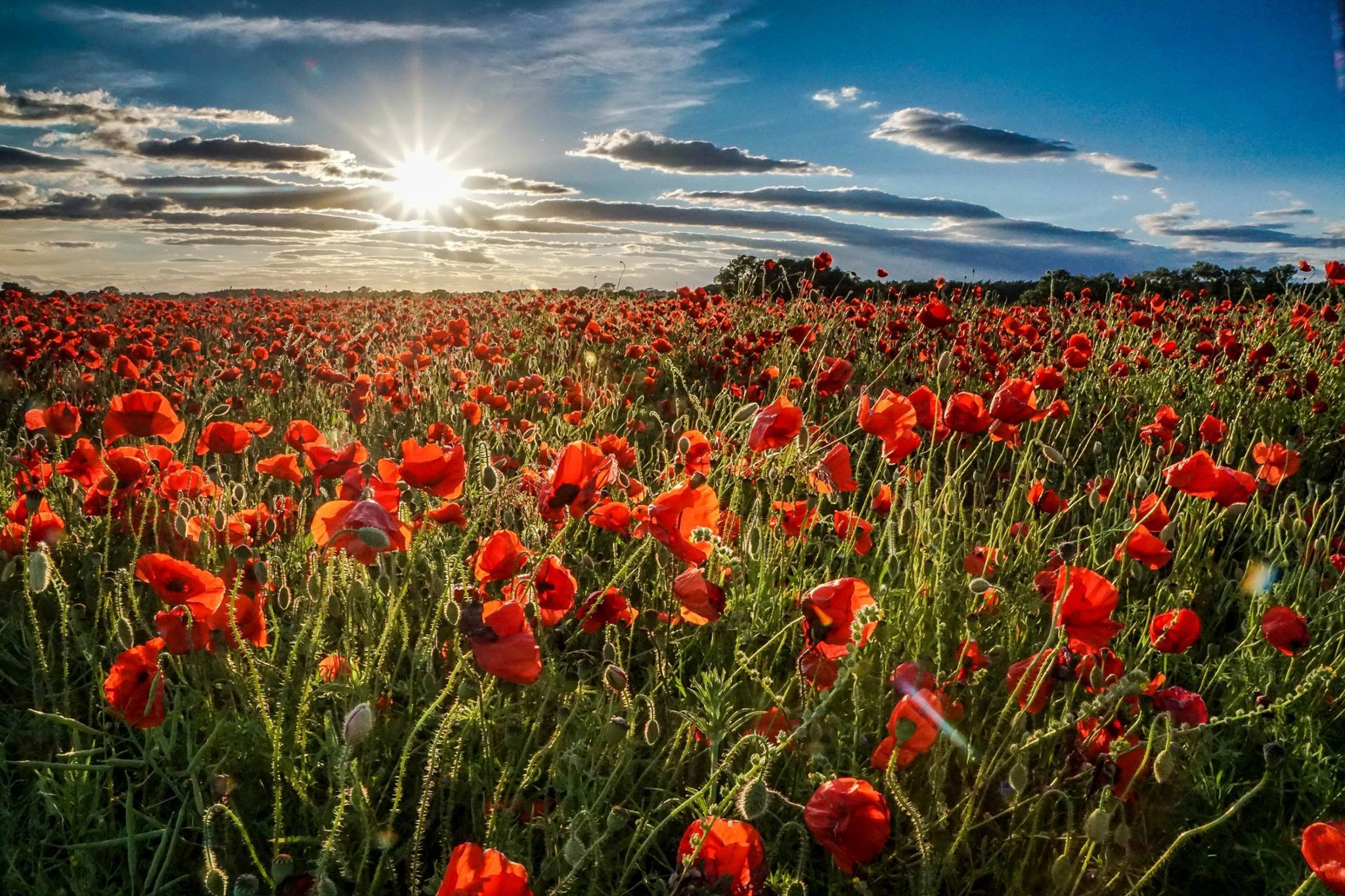 Sue Lascelles took this picture if a field of poppies