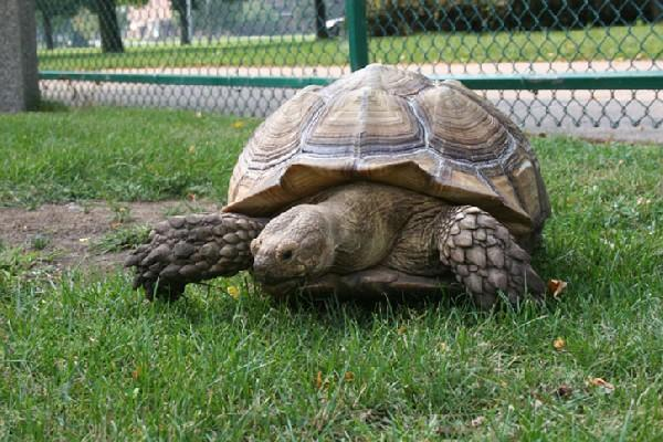 York Press: A spur-thighed tortoise similar to Lily