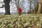 Sam Shipman, head gardener for National Trust York Area Properties with snowdrops at Fountains Abbey and Studley Royal
