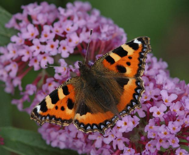 York Press: Many butterfly species are in decline