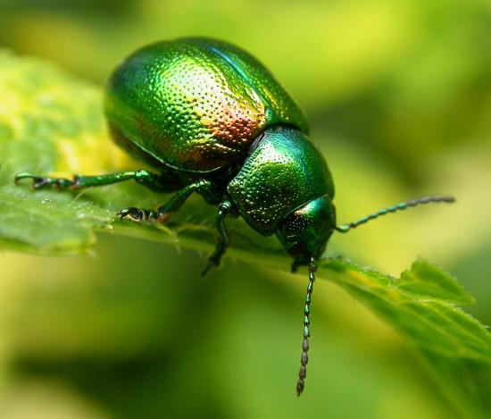 Jewel of York? The tansy beetle
